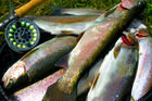 A specially tagged rainbow trout caught on either Lake Tarawera, Rotoiti and Okataina between October 1 and 9 could land you $10,000. Photo / File