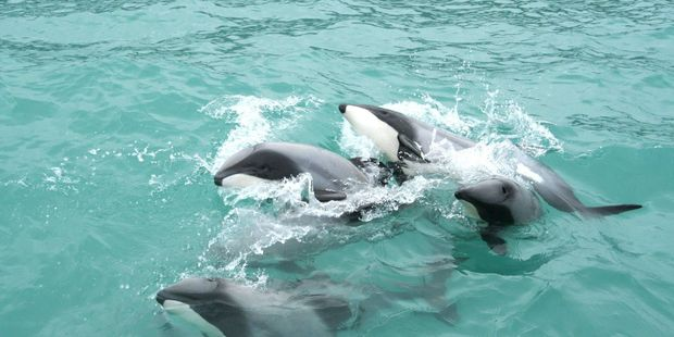 Loading A pod of hector dolphins in Akaroa Harbour.