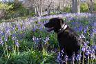 Bluebells in Roland's Wood, Kerikeri NAG 24Sep14 - COLOURFUL: Molly, a labrador-border collie cross, checks out the bluebells. PHOTO/PETER DE GRAAF NAG 25Sep14 - PURPLE PATCH: Labrador-bord