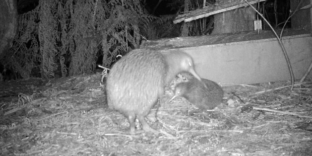 Loading A wild kiwi and its chick emerged from their nesting box in Russell this week, and in a possible a world first, it was captured live. Photo / Russell Nature Walk