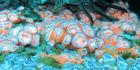 Jewel anemones, Corynactis australis. PHOTO/ JOSH RICHARDSON