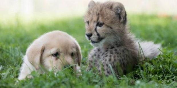 Emmett chose Cullen as his 'companion puppy'. Photo / Columbus Zoo