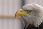 Dutch police are using eagles to take done drones
