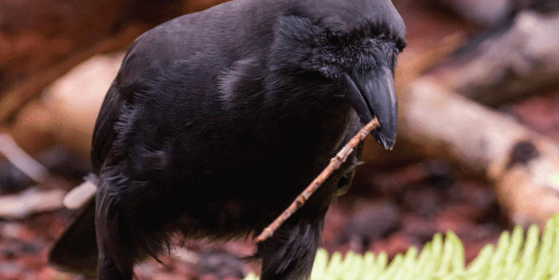 A captive Hawaiian crow carrying a stick tool to a wooden log where food is hidden in drilled holes. Photo / Ken Bohn, San Diego Zoo Global