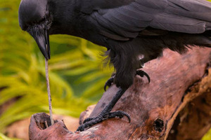 A captive Hawaiian crow using a stick tool to extract food from a wooden log. Photo / Ken Bohn, San Diego Zoo Global.