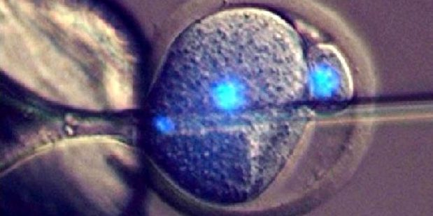 A mouse embryo is fertilised in the University of Bath experiment. Photos / University of Bath
