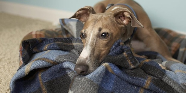 This is a shot of Milo, our italian greyhound, in our living room.