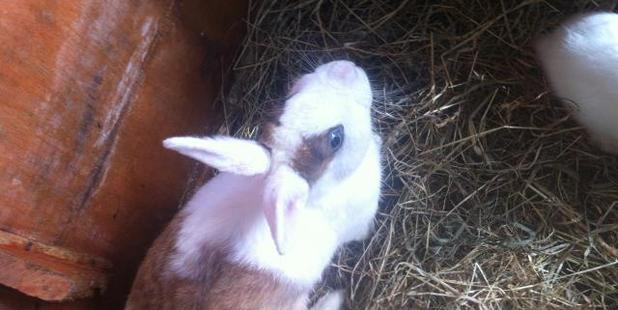 Lily the Netherland Dwarf rabbit is one of 15 rabbits stolen from backyards in Mt Albert, Blockhouse Bay and Massey over the past three weeks.