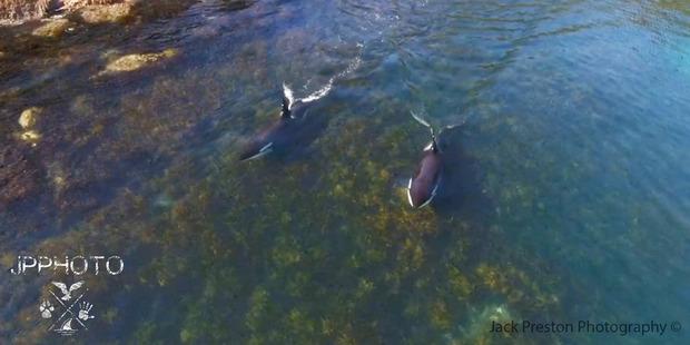 Preston followed the animals using a drone. Photo / Jack Preston photography