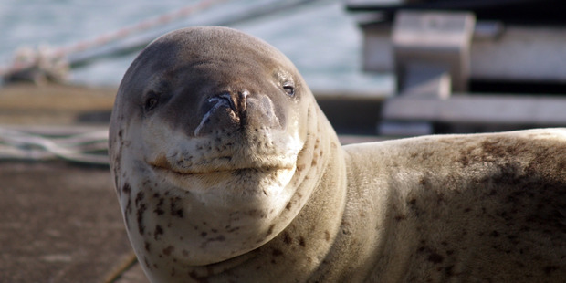 A bulky adult female leopard seal has been spotted around Auckland's Westhaven Marina. Photo: Andrew Miller/NIWA