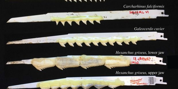Researchers have attached shark teeth to reciprocating saw blades to see how the big ocean predators feed. Photo: University of Washington