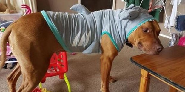 This rare breed of shark is more paws than jaws, and his bark is worse than his bite. Photo / via Facebook