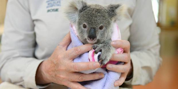 The hospital treats an average of 70 to 80 koalas every month. Photo / Ben Beaden, Australia Zoo