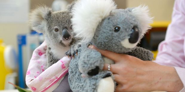 Loading An Australia Zoo photo shows Shayne, a 9-month-old orphaned baby koala who has found solace cuddling a fluffy toy koala in the absence of his dead mum. Photo / Ben Beaden, Australia Zoo