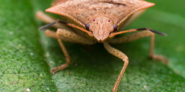 The Ministry for Primary Industries is on high alert to stop the invasive brown marmorated stink bug from making a home in New Zealand. Photo: 123rf.com