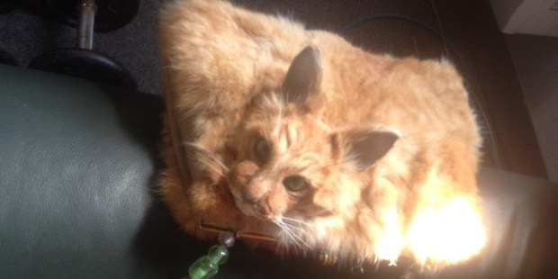 A taxidermy cat handbag for sale on Trade Me. Photo / Trade Me