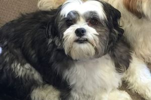 Harry the shitzu-cross became frightened when fireworks were let off in Bethlehem on Friday and ran off. He hasn't been seen since, much to the heartbreak of his owners who are offering at $1000 reward.