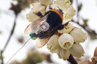 A bumble bee queen feasts on blueberry flowers seemingly oblivious to the tracker attached to its back. Photo / Alan Gibson