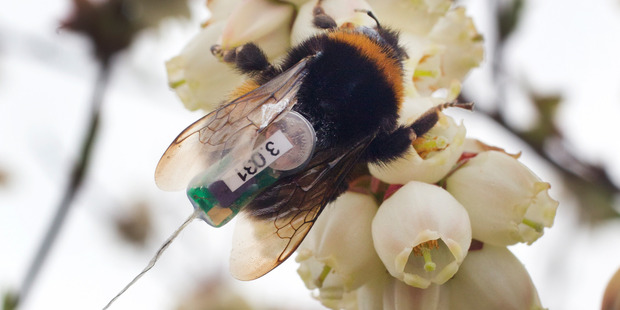 Loading A bumble bee queen feasts on blueberry flowers seemingly oblivious to the tracker attached to its back. Photo / Alan Gibson