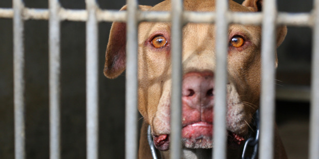 A red-nose pitbull dog, still wearing his chain, is caged at the Waitakere City Council animal pound. NZ Herald Photograph by Paul Escourt.