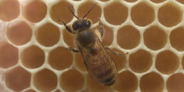 Although we don't have any reliable data on some introduced and native bee populations, any claims that honey bee numbers are currently in decline in New Zealand are false. Photo / File