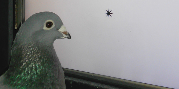 Pigeons have quite a way with words, Otago researchers have found.