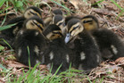 The ducklings are in the care of the SPCA Otago after their mother was killed on the motorway. Photo / File