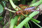 The Department of Conservation has published a new stocktake of New Zealand's orthoptera insects, including weta. Photo: File