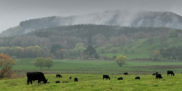 Wet spell: Cattle grazing near Lake Tutira, between Napier and Wairoa. Photo/Warren Buckland.