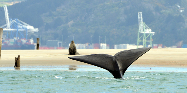 Loading A sea lion sits bolt upright near Spit Wharf in Otago Harbour as a southern right whale swims by close to the shore. Photo / Stephen Jaquiery, Otago Daily Times
