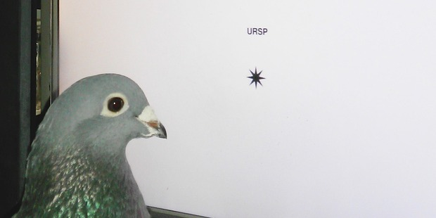 Pigeons can distinguish real words from non-words such as 'URSP'. Photo/Supplied