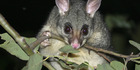 Possums on the menu for pets