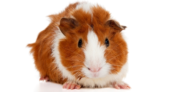 Be warned, if you see cuy on the menu for a hefty price, know that it is a guinea pig enjoyed in parts of South America. Photo / Supplied
