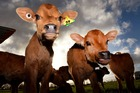 Calves waiting to be fed on a dairy farm near Cambridge in the Waikato. Photo / Getty Images