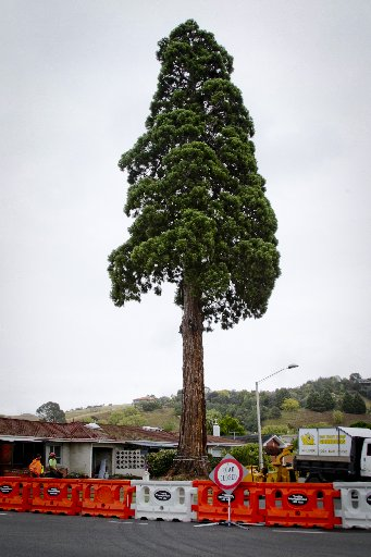 The Californian redwood before it was cut down.