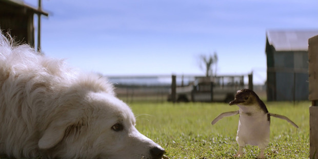 A scene from the film Oddball about the project top save Little Penguins on Middle Island off the Melbourne Coast, Victoria, using Maremma sheepdogs to scare off predating foxes.