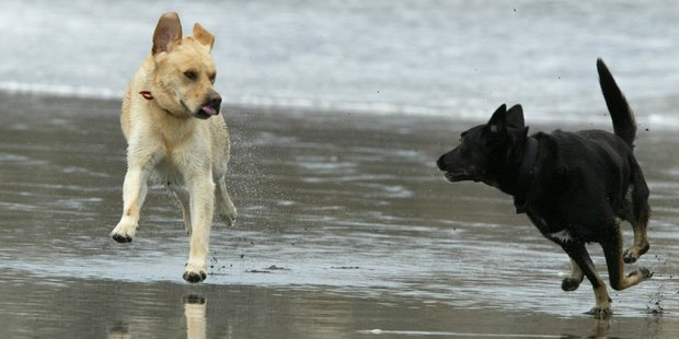 Like humans, dogs love a day out at the beach - but some Far North dog owners have been flouting bylaws designed to protect other beachgoers and rare wildlife.