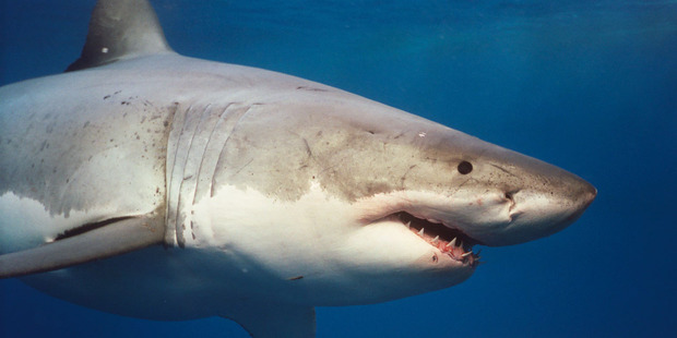 A Northland fisherman was in awe after a close encounter with a great white shark eating a dead whale. Photo / Supplied