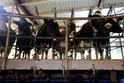 Fonterra said the lower production was largely the result of a low milk prices, where farmers have reduced stocking rates and supplementary feeding to reduce costs. Photo / NZME.