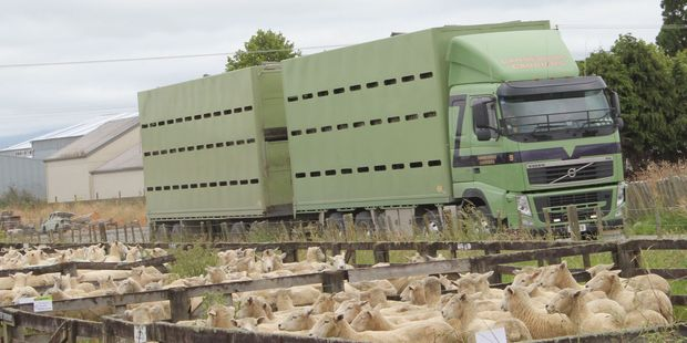 Transport companies were busy carting stock to and from the annual ewe sale on Thursday.