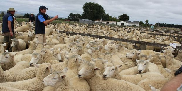 Pens of ewes as far as the eye could see as thousands of head of stock were sold at the combined ewe fair.
