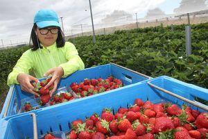 Chinese traveller Maya Zhang, who had her bike and belongings stolen, picks strawberries at Wee Red Barn, north of Masterton. PHOTO/ANDREW BONALLACK
