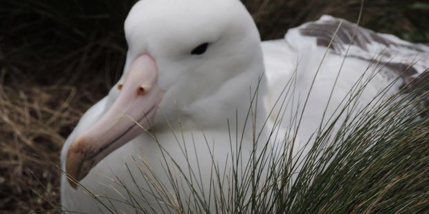 Royal Albatross on Campbell Island. Photo / Bill Unwin