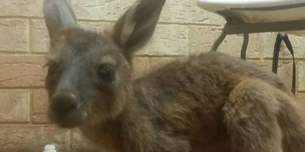 The Waroona Veterinary Clinic has shared images of the injured animals on their Facebook page. Photo / Facebook