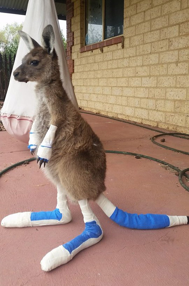 A kangaroo joey admitted to Waroona Veterinary Clinic after suffering extensive burns in devastating bushfires which rocked Western Australia this month. Photo / Waroona Veterinary Clinic Facebook