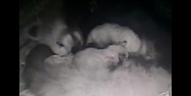 Loading Panda cubs take a nighttime feed. Photo / Auckland Zoo