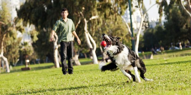 But you won't be alone and - dogs aside - not everyone is man's best friend. Here's who you might encounter at the dog park. Photo / 123RF