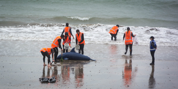 Onlookers may have been fooled by this inflatable pilot whale used in a training exercise on Saturday. Photo/supplied