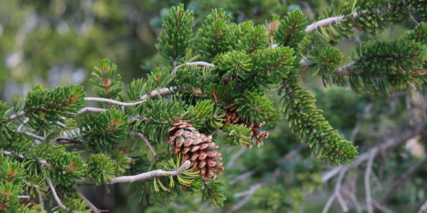 Bristlecone pines up 4000 years old grow across Grand Basin National Park. Photo / 123RF