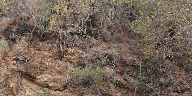 Camouflage kings! This klipspringer, which stand at around 60cm or 2ft high, blends so seamlessly with the rocky cliff face in South Africa, it is almost impossible to spot. Photo / CATERS